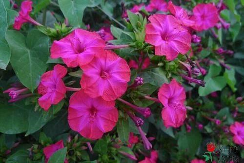 紫茉莉繁殖和栽培技术