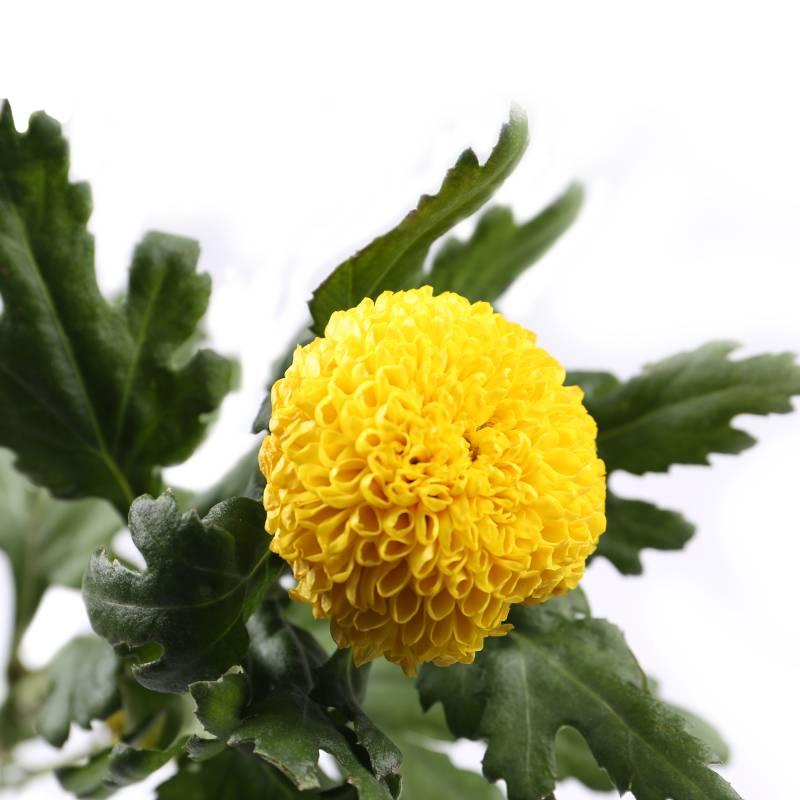 乒乓菊黄色