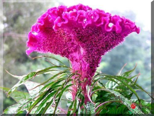 鸡冠花栽培技术