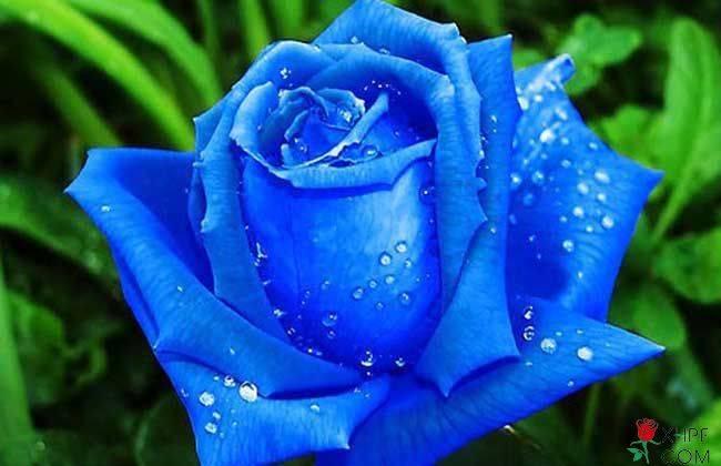 蓝色玫瑰花