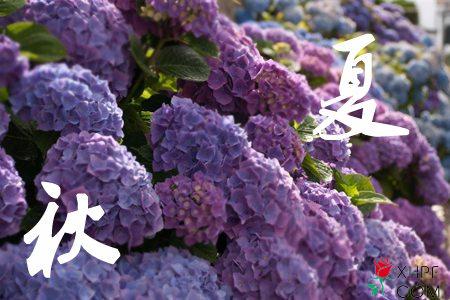 秋夏两季八仙花