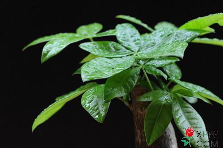 小盆栽发财树要如何养殖?