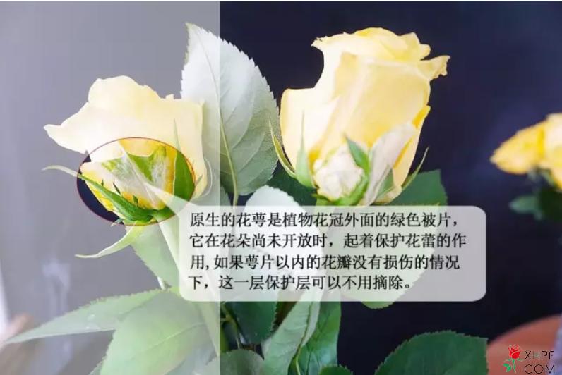 玫瑰花修剪