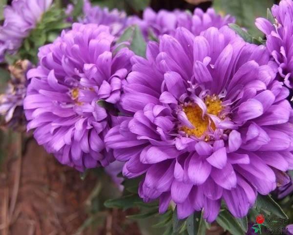 翠菊种子什么时候播种