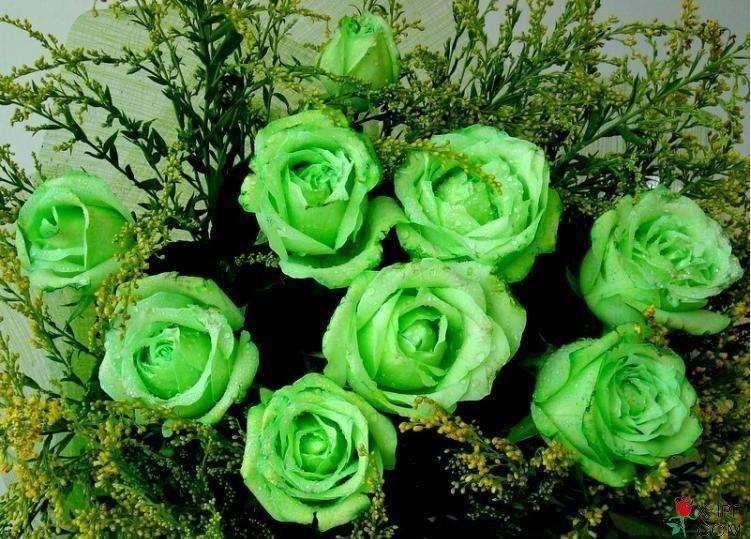 绿色玫瑰花