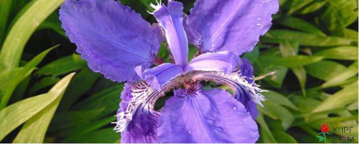 漂亮的花菖蒲图片