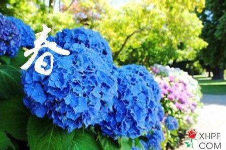 八仙花一年四季的养护方法