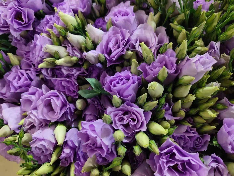洋桔梗-浅紫
