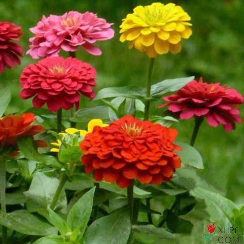 百日草种子的种植方法