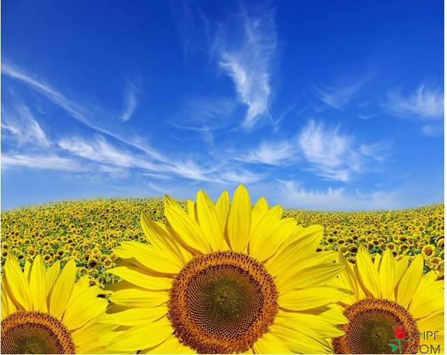盆栽向日葵养殖方法!